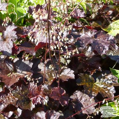Buy Heuchera villosa Palace Purple (Coral Bells) online from Jacksons Nurseries