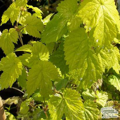 Buy Humulus luplus Golden Tassels online from Jacksons Nurseries