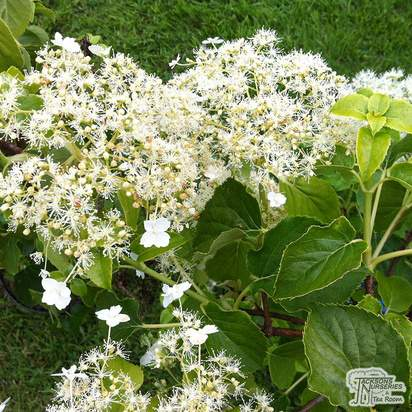 Buy Hydrangea anomala petiolaris online from Jacksons Nurseries