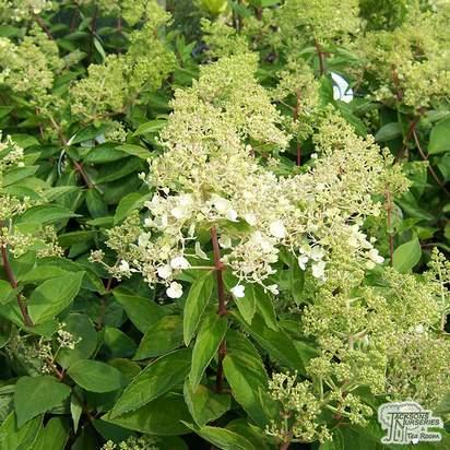 Buy Hydrangea paniculata Kyushu (Hydrangea) online from Jacksons Nurseries