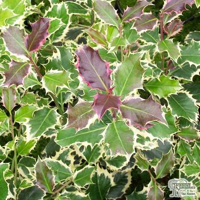 Buy Ilex aquifolium Silver Queen (Variegated Male Holly) online from Jacksons Nurseries