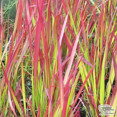 Buy Imperata cylindrica Red Baron (Blood Grass) online from Jacksons Nurseries