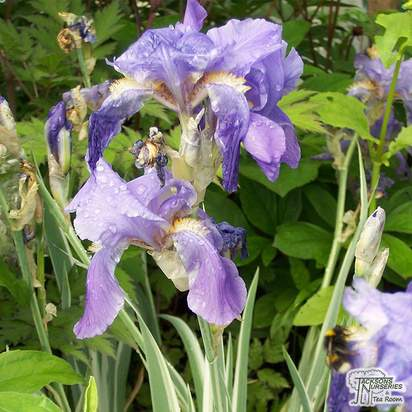 Buy Iris pallida Variegata (Great Purple Flag) online from Jacksons Nurseries