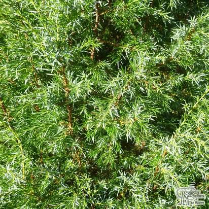 Buy Juniperus communis Hibernica online from Jacksons Nurseries