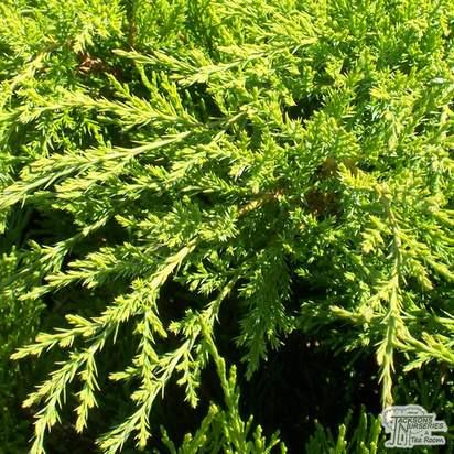 Buy Juniperus x pfitzeriana Mint Julep online from Jacksons Nurseries