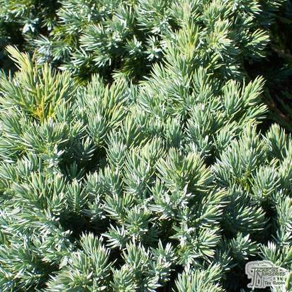 Buy Juniperus procumbens Nana online from Jacksons Nurseries