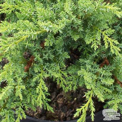Buy Juniperus sabina Tamariscifolia online from Jacksons Nurseries