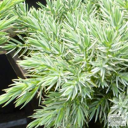 Buy Juniperus squamata Blue Star online from Jacksons Nurseries