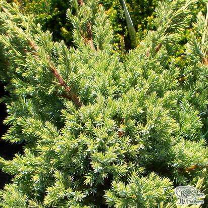 Buy Juniperus squamata Holger online from Jacksons Nurseries