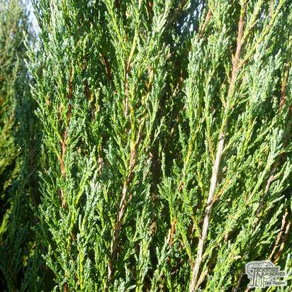 Buy Juniperus scopulorum Blue Arrow online from Jacksons Nurseries