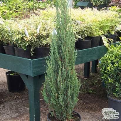 Buy Juniperus scopulorum Blue Arrow online from Jacksons Nurseries