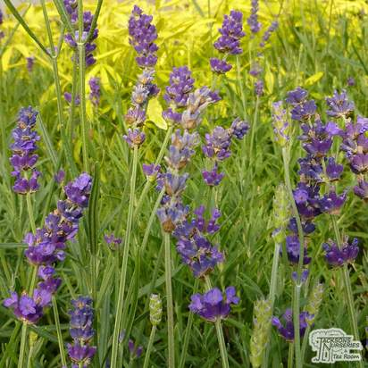 Buy Lavandula angustifolia Hidcote (Lavender) online from Jacksons Nurseries