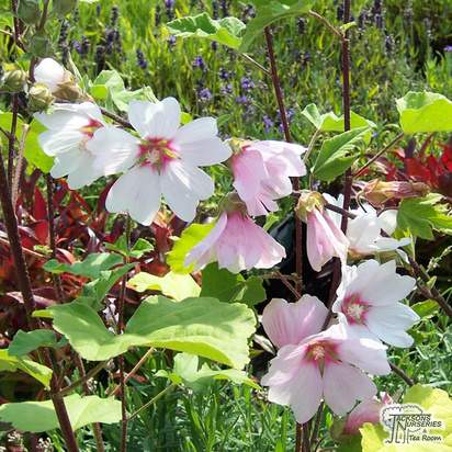 Buy Lavatera x clementii Barnsley (Mallow) online from Jacksons Nurseries