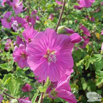 Buy Lavatera x clementii Burgundy Wine (Tree Mallow) online from Jacksons Nurseries