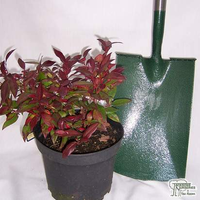 Buy Leucothoe Scarletta (Switch Ivy) online from Jacksons Nurseries