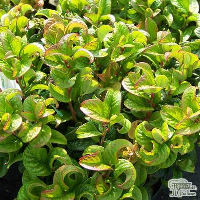 Buy Leucothoe axillaris Curly Red (Dog Hobble) online from Jacksons Nurseries