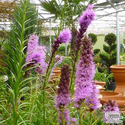 Buy Liatris spicata Floristan Violet (Blazing Star) online from Jacksons Nurseries
