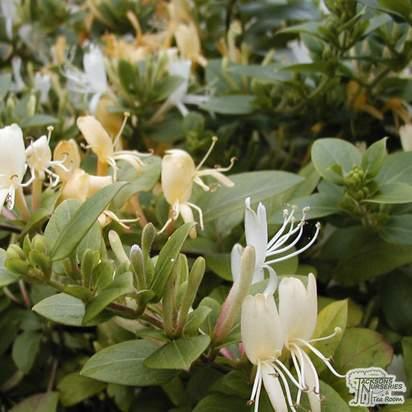 Buy Lonicera japonica Halliana online from Jacksons Nurseries