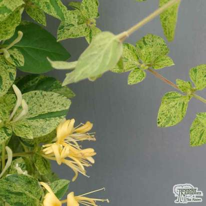 Buy Lonicera japonica Mint Crisp online from Jacksons Nurseries