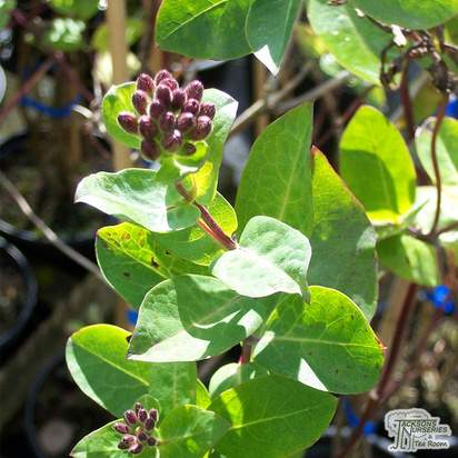 Buy Lonicera periclymenum Belgica online from Jacksons Nurseries