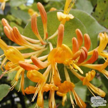 Buy Lonicera x tellmanniana online from Jacksons Nurseries