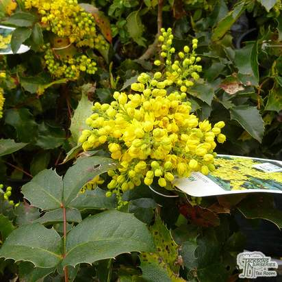 Buy Mahonia aquifolium Apollo (Oregon Grape) online from Jacksons Nurseries