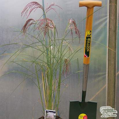 Buy Miscanthus sinensis Kleine Silberspinne (Chinese silver grass) online from Jacksons Nurseries