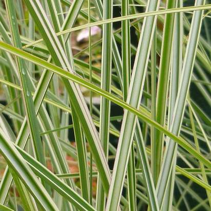 Buy Miscanthus sinensis Morning Light (Silver maiden grass) online from Jacksons Nurseries
