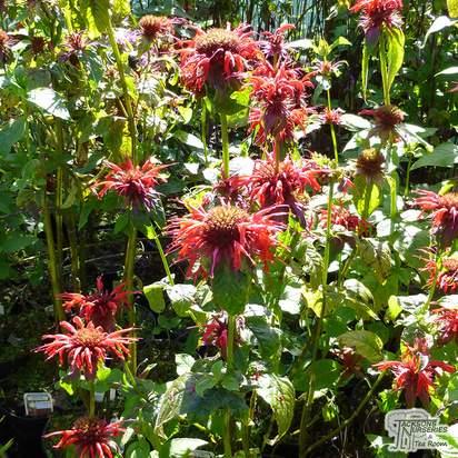 Buy Monarda Cambridge Scarlet (Bergamot) online from Jacksons Nurseries
