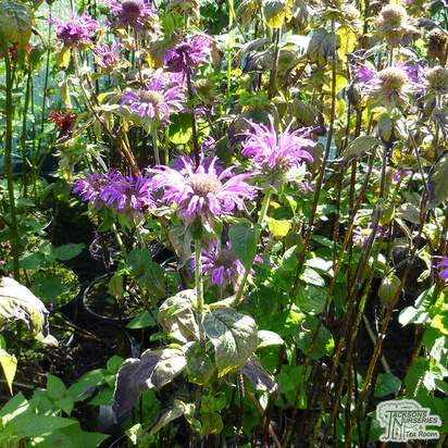 Buy Monarda Prairie Night (Bergamot) online from Jacksons Nurseries