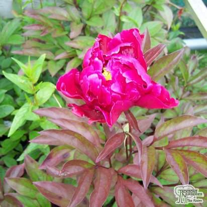 Buy Paeonia lactiflora Karl Rosenfield (Peony) online from Jacksons Nurseries