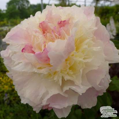 Buy Paeonia Shirley Temple (Peony) online from Jacksons Nurseries
