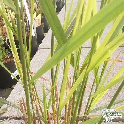 Buy Panicum virgatum Squaw (Switch grass 'Squaw') online from Jacksons Nurseries