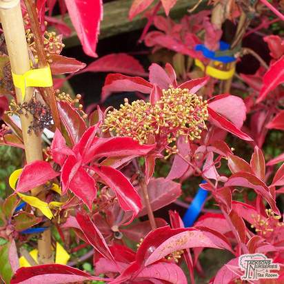 Buy Parthenocissus henryana online from Jacksons Nurseries