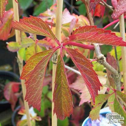 Buy Parthenocissus quinquefolia online from Jacksons Nurseries