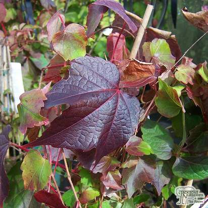 Buy Parthenocissus tricuspidata Veitchii online from Jacksons Nurseries