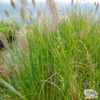 Buy Pennisetum alopecuroides Hameln (African Feather Grass) online from Jacksons Nurseries