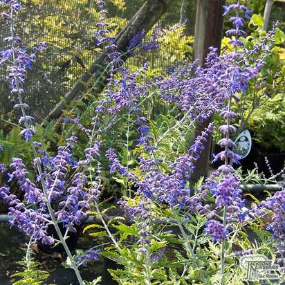 Buy Perovskia Blue Spire (Russian Sage) online from Jacksons Nurseries