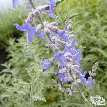 Buy Perovskia Blue Spire (Russian Sage) online from Jacksons Nurseries