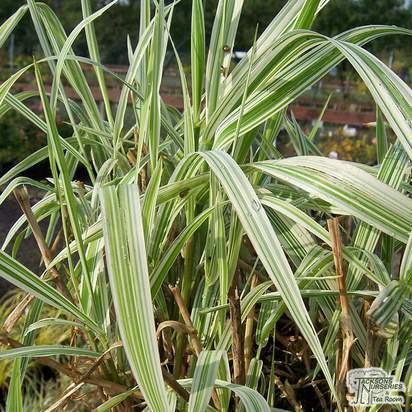 Buy Phalaris arundinacea picta  (Gardener's Garters) online from Jacksons Nurseries
