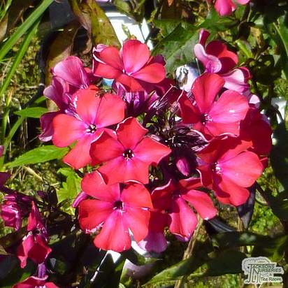Buy Phlox paniculata Starfire (Garden Phlox) online from Jacksons Nurseries
