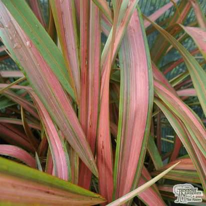 Buy Phormium Jester (New Zealand Flax) online from Jacksons Nurseries