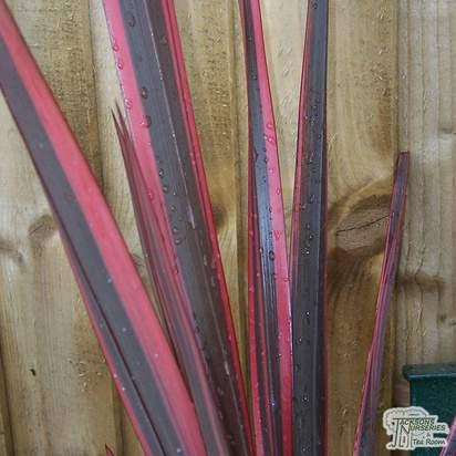 Buy Phormium Sundowner (New Zealand Flax) online from Jacksons Nurseries
