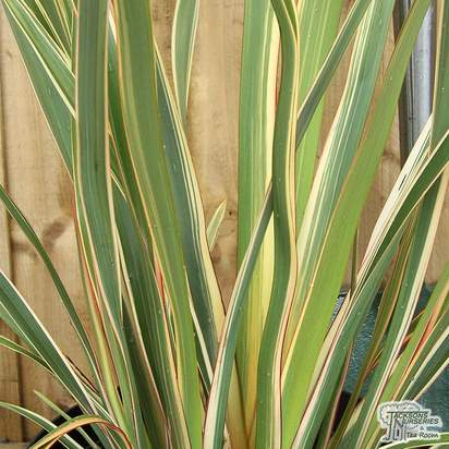 Buy Phormium tenax Variegata (Variegated New Zealand Flax) online from Jacksons Nurseries