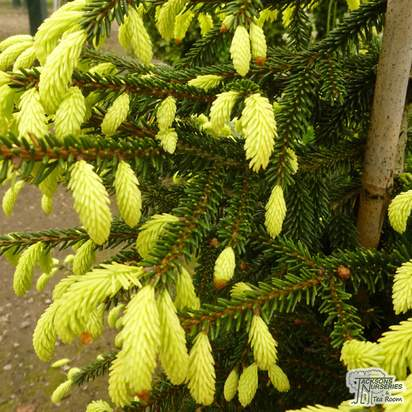 Buy Picea orientalis Aurea online from Jacksons Nurseries