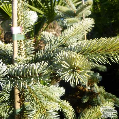 Buy Picea pungens Hoopsii online from Jacksons Nurseries