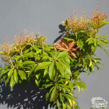 Buy Pieris Forest Flame (Lily-of-the-Valley Shrub) online from Jacksons Nurseries