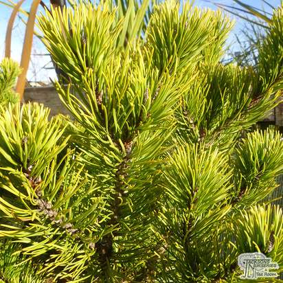 Buy Pinus Mugo 'Winter Gold' online from Jacksons Nurseries