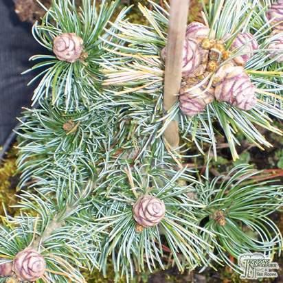 Buy Pinus sylvestris Watereri online from Jacksons Nurseries