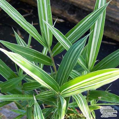 Buy Pleioblastus variegatus online from Jacksons Nurseries